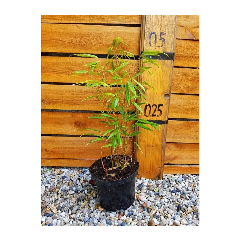 Fargesia rdzawa (Fargesia rufa) sadzonka 2,5 l