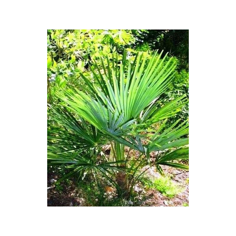 Szorstkowiec z Nainital (Trachycarpus Nainital) nasiona