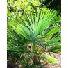 Szorstkowiec z Nainital (Trachycarpus Nainital) 5 nasion