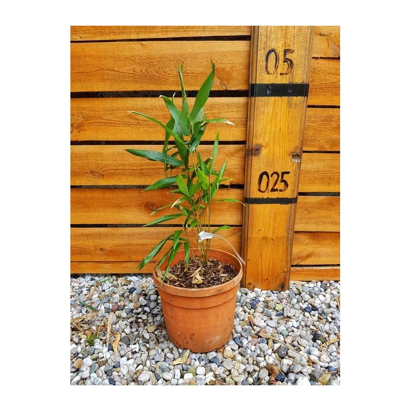 Fylostachys Bisseta (Phyllostachys bissetii) sadzonka 2,5 l
