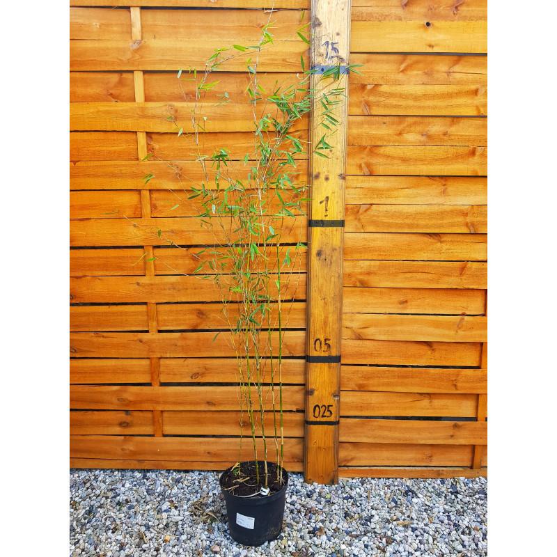 Czerwony bambus (Fargesia jiuzhaigou B1) - sadzonka 5l