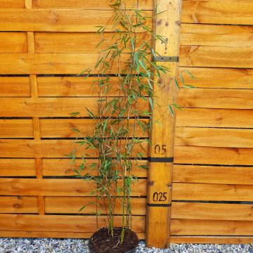 Czerwony bambus (Fargesia jiuzhaigou 4) - sadzonka 5l