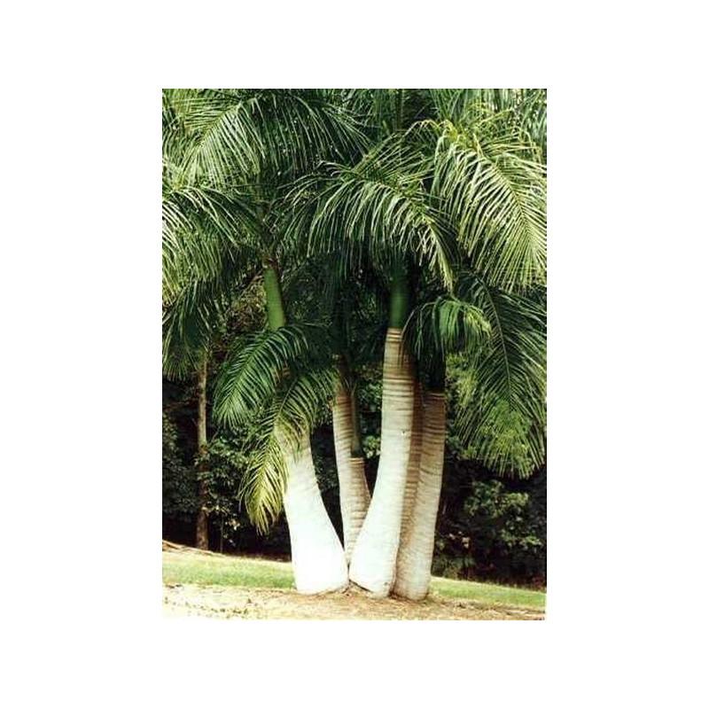 Kubańska palma królewska (Roystonea regia) nasiona