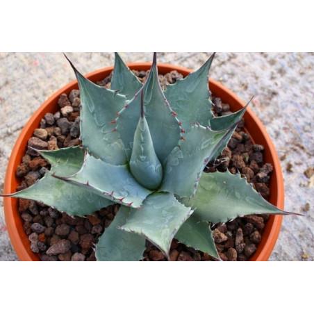 Agawa tytanowa (Agave titanota) 5 nasion - wyjątkowe białe kolce