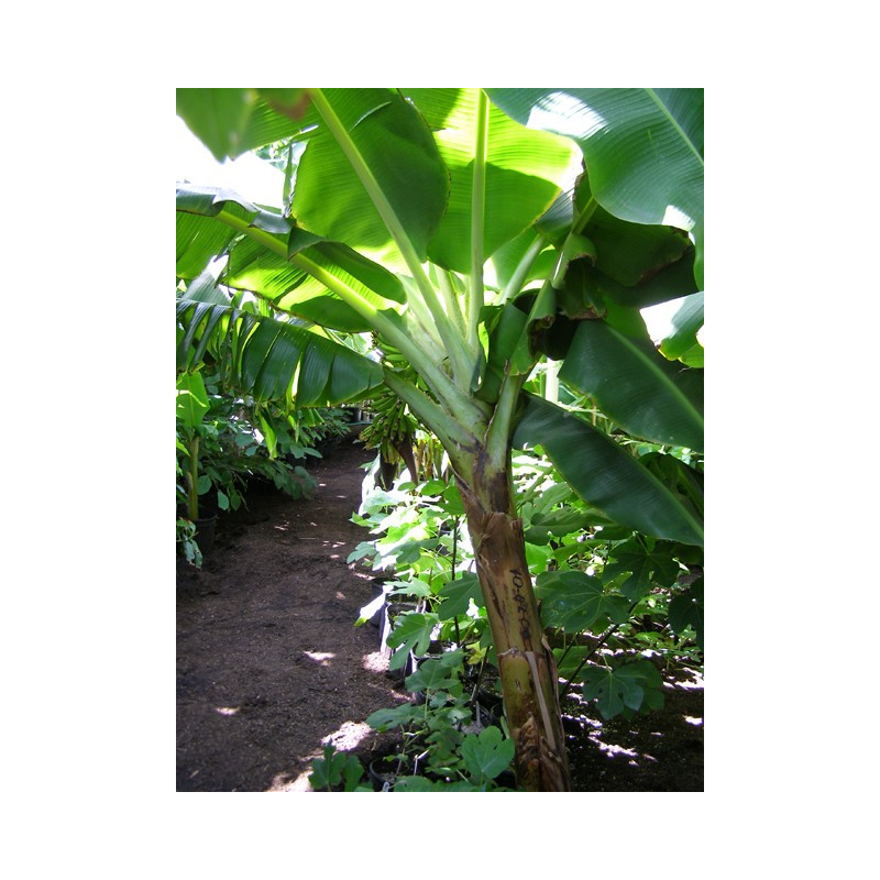Banan Grand Nian (Musa acuminata 'Grand Nian') sadzonka