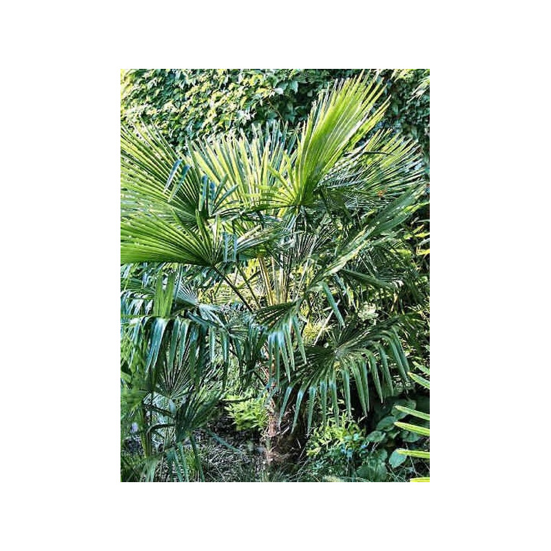 Szorstkowiec takil (Trachycarpus takil) nasiona