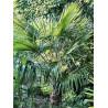Szorstkowiec takil (Trachycarpus takil) 5 nasion