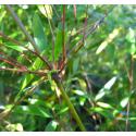 Zestaw 10 bambusów: Fargesia naga (Fargesia denudata 'Xian 2')