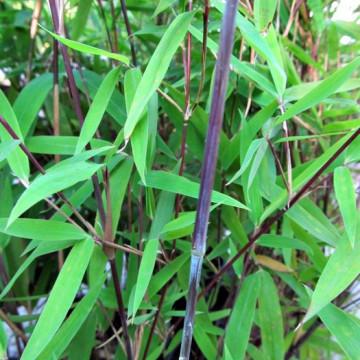 Bambus Black Pearl (Fargesia nitida ) zdjęcie poglądowe