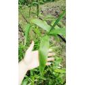 Indokalam mozaikowy (Indocalamus tesselatus) - zdjęcie poglądowe