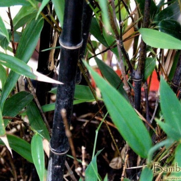 Czarny bambus ogrodowy (Phyllostachys nigra) - zdjęcie poglądowe