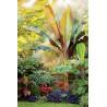 Czerwony banan abisyński (Ensete ventricosum 'Maurelii') sadzonka