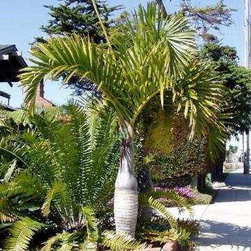 Palma butelkowa (Hyophorbe verschaffeltii) 5 nasion