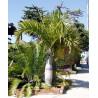 Palma butelkowa (Hyophorbe verschaffeltii) nasiona