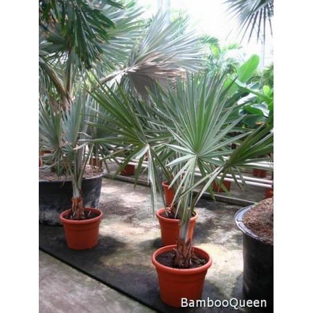 Palma Bismarcka (Bismarckia nobilis) 1 nasiono