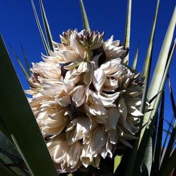 Liście jak sztylety Juka Torrey'ego (Yucca torreyi) 5 nasion
